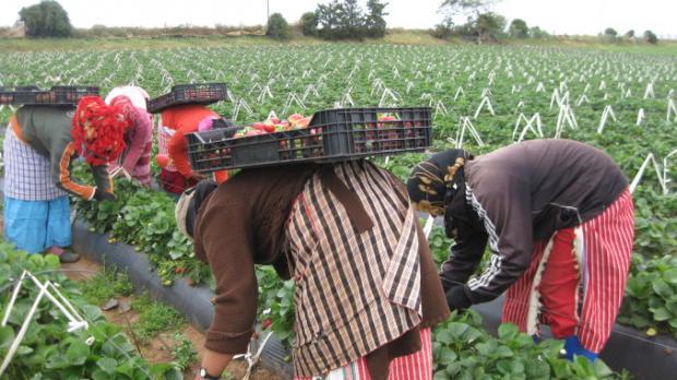 Los criterios de contratación para la campaña de la fresa son retrógrados, machistas y discriminatorios